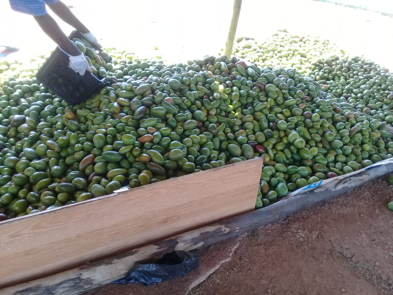 Green mango Collection from Hebron Farmers