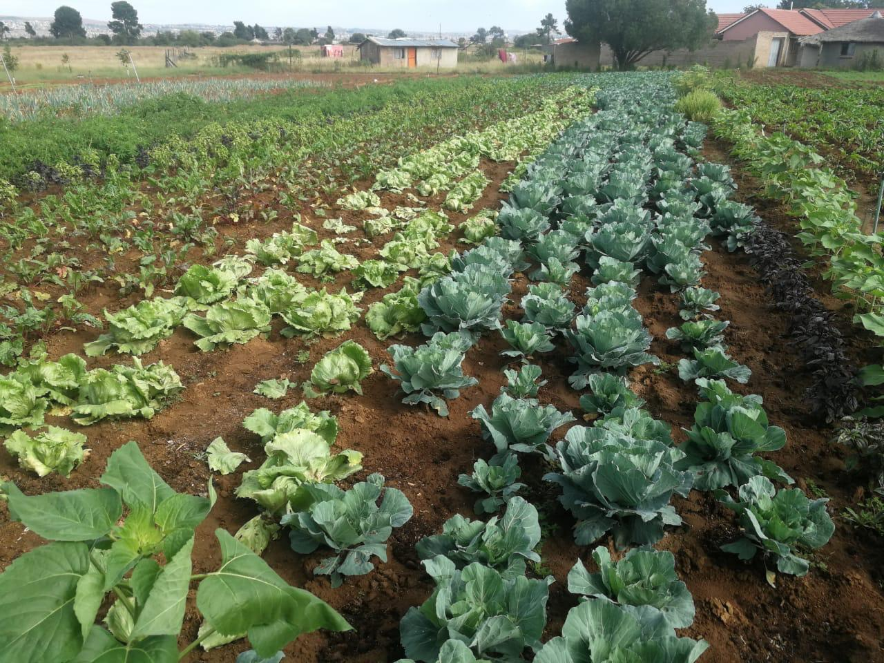 Vegetable gardens in Mutale Thohoyandou